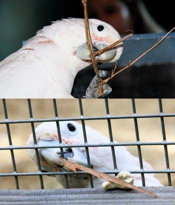 Burung kakaktua bisa bikin alat bantu sendiri kejutkan ilmuwan | kabar